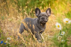 Franse buldog pup