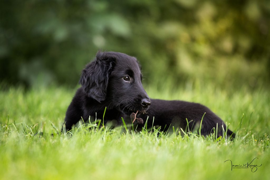 flatcoat puppy