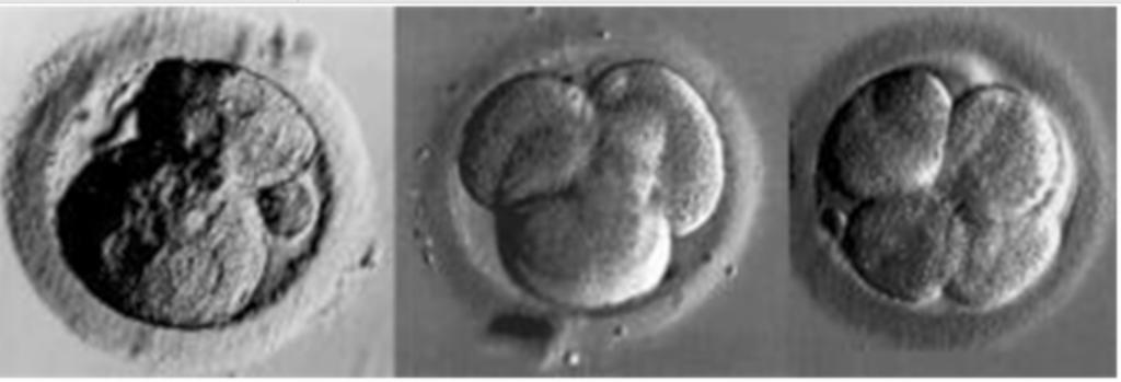embryo-pup